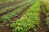 Hawaii County Sued by Monsanto