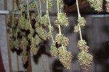 Massachusetts Bust Finds 1 Ton of Marijuana