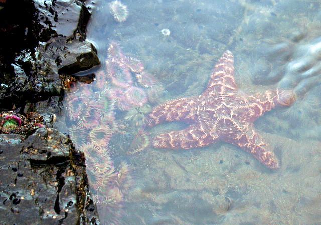 Pathogen inPacific Coast Starfish Plague Identified