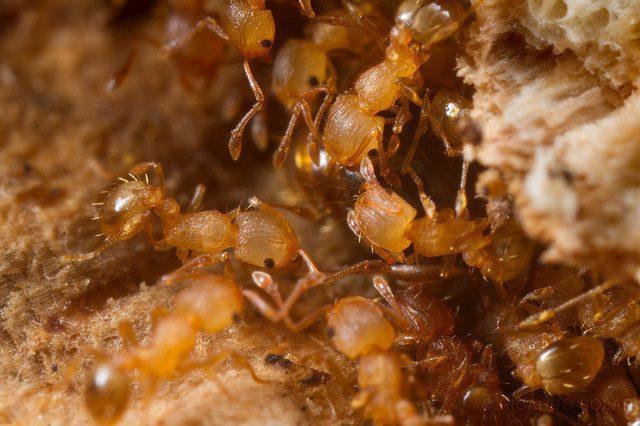 Ants Threatening Hawaiian Agriculture