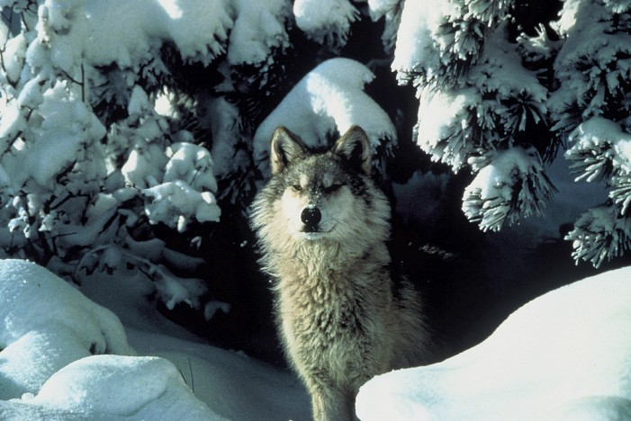 Endangered Species Status Returned to Gray Wolf
