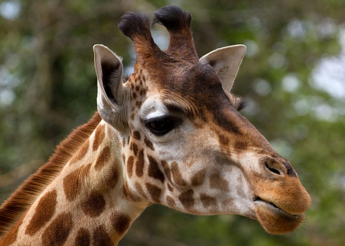 Giraffe Species Close to Extinction