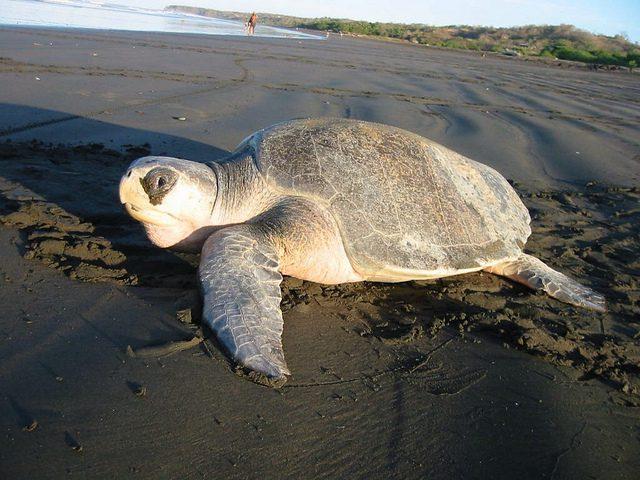 Sea Turtle Recovering at Oregon Aquarium