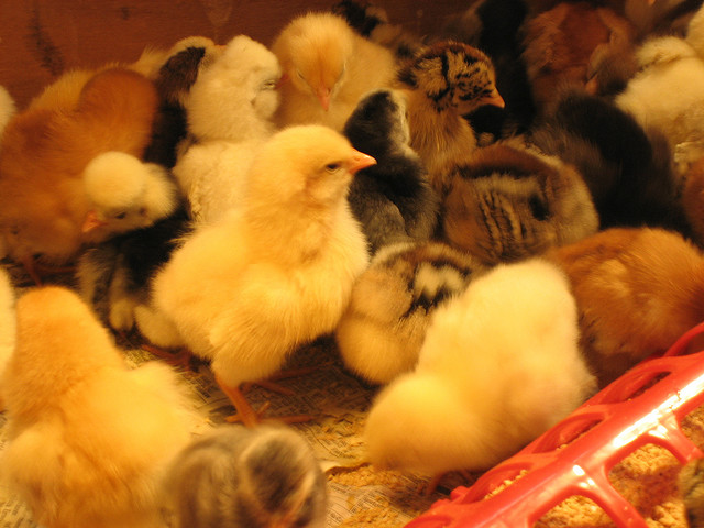 Chicks Map Numbers Spatially Just Like Humans