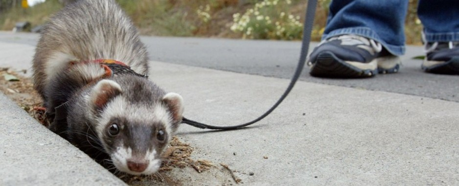 Family Ferrets Chew Off Part of Infant's Face