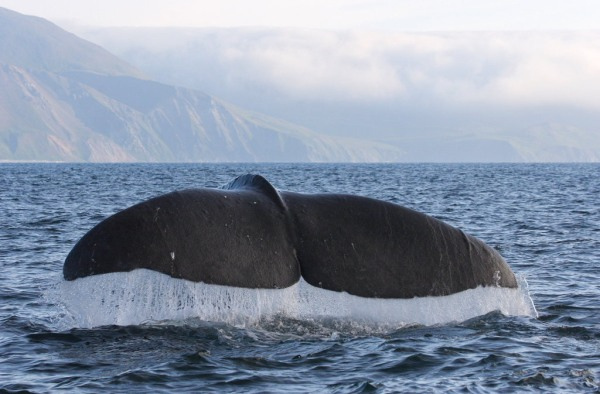 Baleen Whales Hear Frequencies Through Their Bones