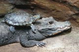 Crocodiles Like Playing and Giving Piggyback Rides