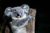 Australian Mammals Are Disappearing and Endangered