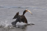 Salmon in Columbia River Endangered by Seabirds