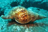 Sea Snail Teeth Are Nature's New Strongest Material