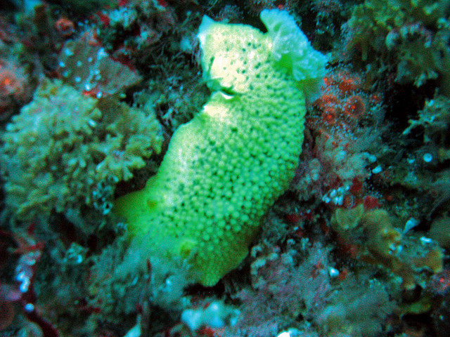 Photosynthesis Used by Type of Sea Slug