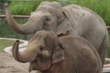 Elephants Are Smart: Six Things That Prove It