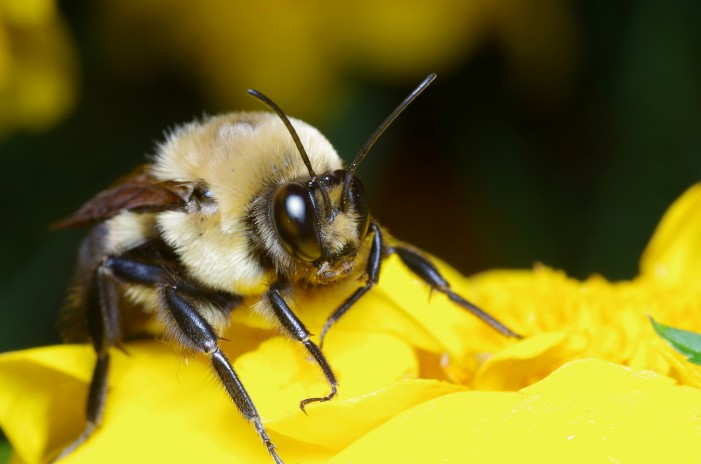 Bees and Humans Have Memory Lapse