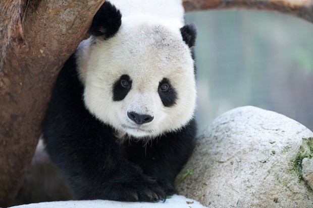 Stalking Shows Pandas Real Lives