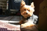 Dogs: What an Owner Should Know About Yorkshire Terriers