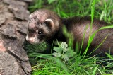 Ferrets Cannot Be Pets in New York City