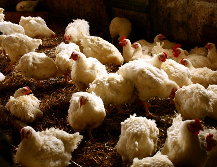 Rembrandt Enterprises to Kill 2 Million Birds Affected by Bird Flu