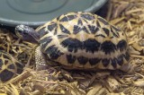 Spider Tortoise Hatches at Smithsonian's National Zoo