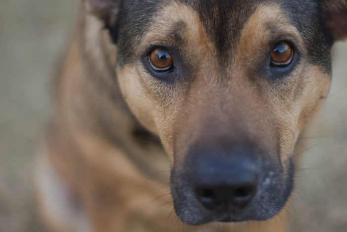 Dog Flu, Yes Canines Get Sick Too