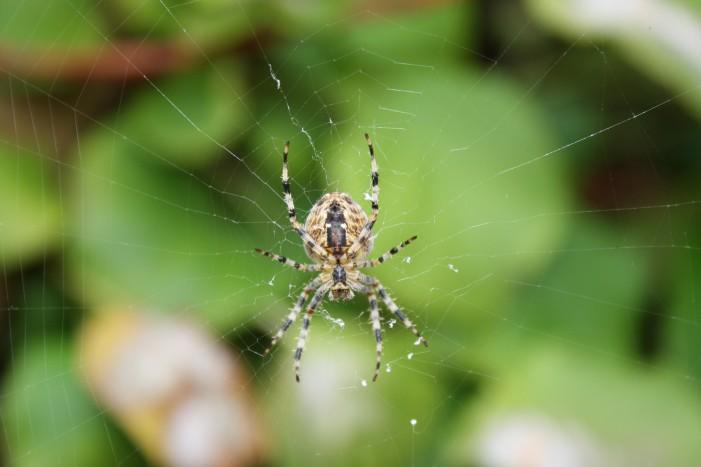 Spiders Trigger Australia Apocalypse?