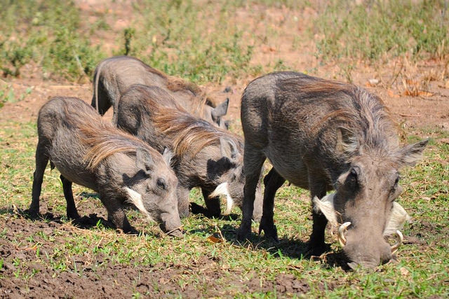 Warthog Piglets Join the Detroit Zoo Family