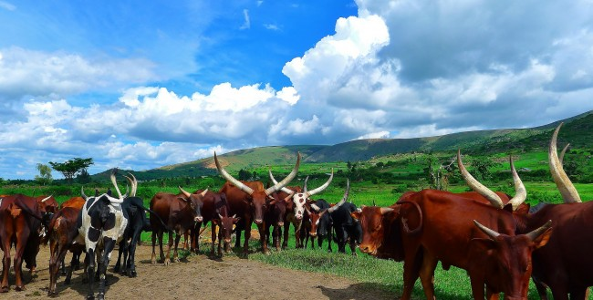 cattle raid