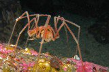Sea Spiders Have Acrobatic Sex With Their Legs
