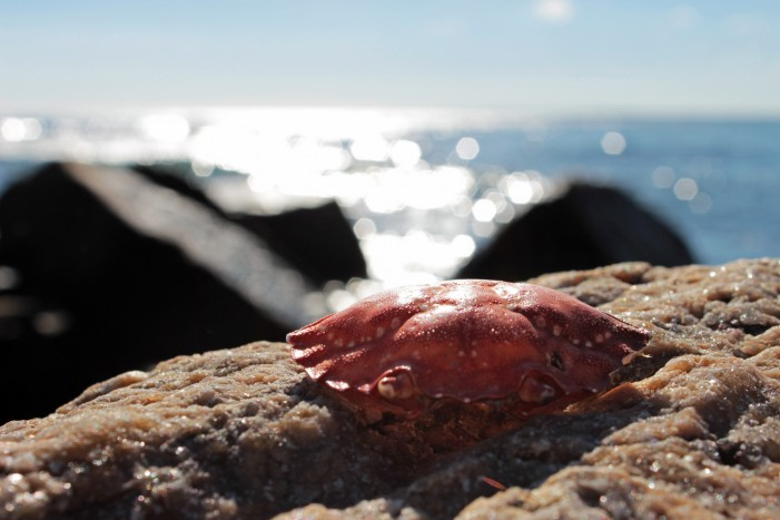 California Beaches Taken Over by Tiny Red Crabs