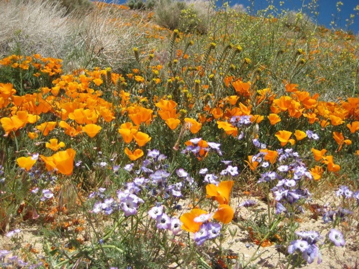 Wildflowers of California Suffering From Dehydration