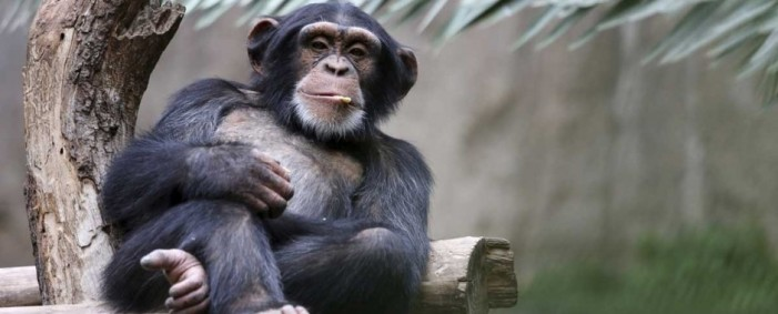 Chimpanzees Drink Tree Sap and Get Wasted [Video]