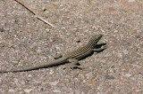 Lesbian Lizards a Hybrid Species Out of New Mexico