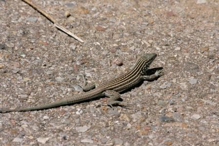 Lesbian Lizard