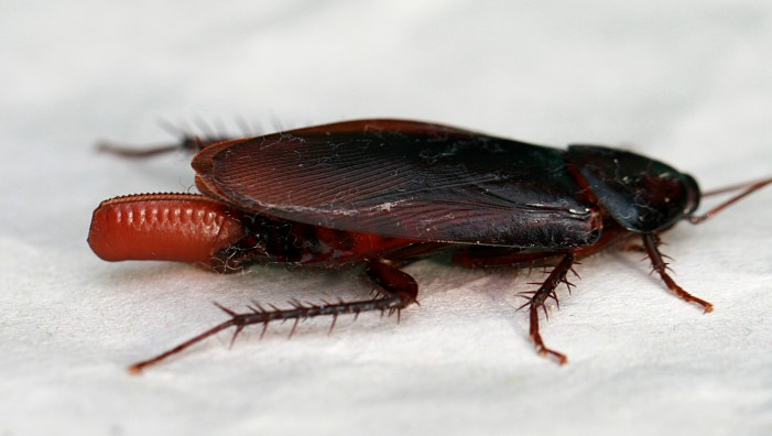 10 Interesting Tidbits and Little Known Facts About Cockroaches