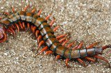 Arkansas Teen Pulls Live 4 Inch Long Centipede From His Ear