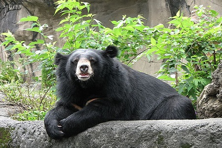 Adopted 'Puppies' Turn Out to Be Asian Black Bears