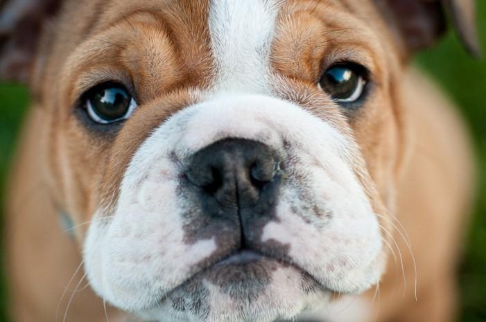 Designer Dogs Bred for Looks Endure Health Issues