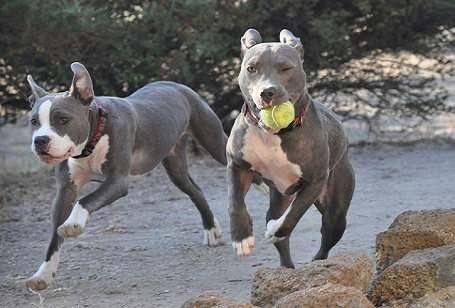 should pit bulls be banned So, should the pit bull be banned when all the evidence is weighed, there is no  logical reason to ban the breed as statistics show that they.