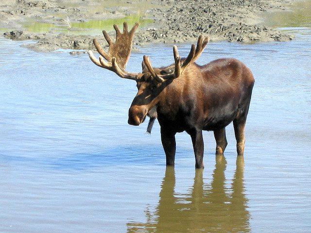 Alaska Joins Lone Wolf Sturgeon in Hunting Moose