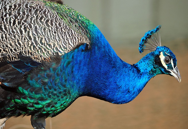 Dexter the Therapeutic Peacock Goes Viral