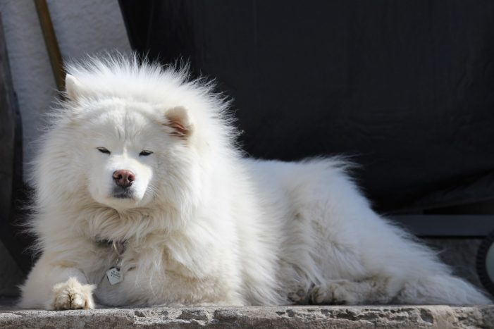 Samoyeds Named Naughtiest Dogs in Time for Christmas