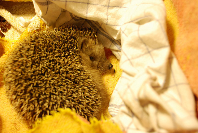 Hedgehogs May Be a Salmonella Risk CDC Says Don't Kiss Them