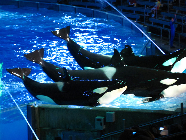 Kayla the Orca Whale Dies at SeaWorld Age 30