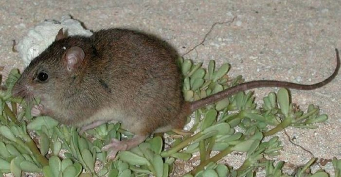 Bramble Cay Melomys First Mammal Declared Extinct Due to Climate Change