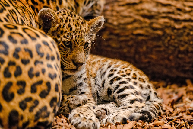 Jaguar Mother Eats Her Dead Cub and Zoo Workers Do Not Understand Why