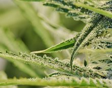 Cannabis and the Effects on Unborn Children