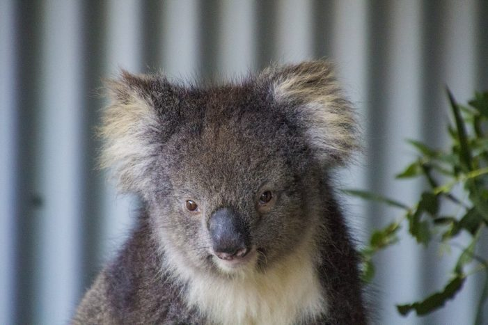 Lewis, the Koala, Dies After Rescue From Wildfires