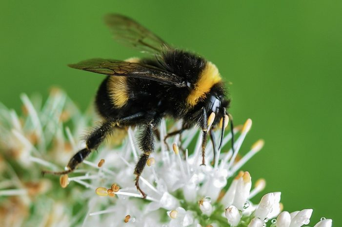 Bumblebees' Brains Are Being Affected by Pesticides