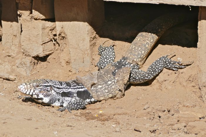 Argentine Black and White Tegu, Invasive Species Found in Georgia