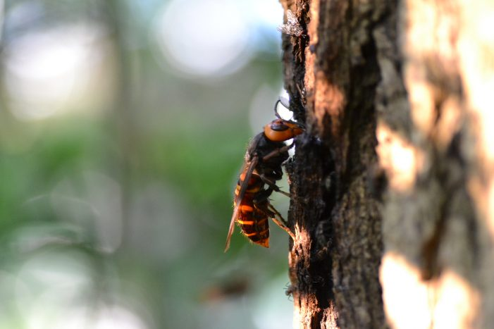 Murder Hornets Found in the United States and Canada