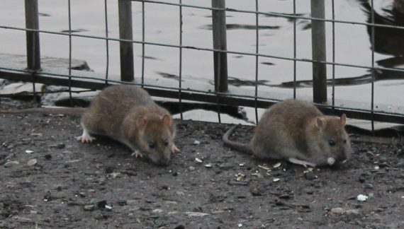 Rats Are Becoming an Issue Amid Restaurant Closures Due to COVID-19